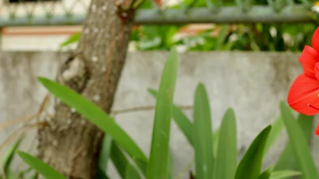 red amaryllis - amaryllis stock videos & royalty-free footage