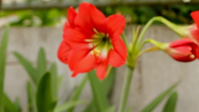 red amaryllis. - amaryllis stock videos & royalty-free footage