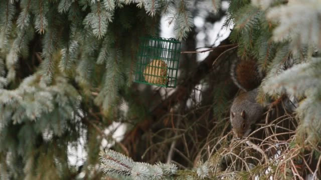 red american squirrel eating on top of a spruce tree branch. - フレミントン点の映像素材/bロール
