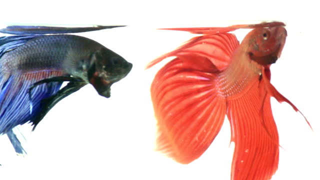 stockvideo's en b-roll-footage met red and blue siamese fighting fish - mannetjesdier