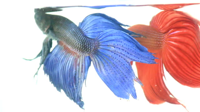 red and blue siamese fighting fish - siamese fighting fish stock videos and b-roll footage
