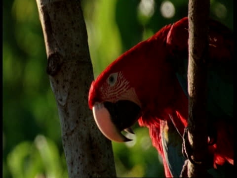 cu red and green macaw, ara chloropterus, pair of macaws sitting in tree together, amazon, south america - two animals stock videos & royalty-free footage