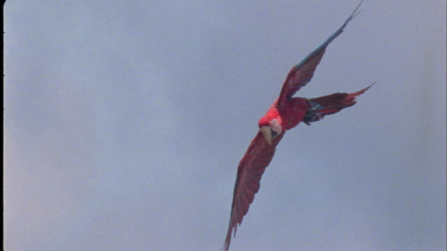 Red and Green Macaws fly, then land at clay lick, South America Available in HD.