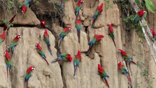 Red and Green Macaws ( Ara chloroptera ) ingesting clay