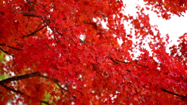 red and green maple leaf on tree - maple tree stock videos and b-roll footage