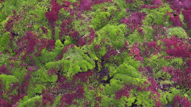 red and green moss, Svalbard, Norway