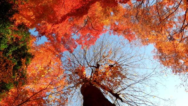 vidéos et rushes de feuille d'érable rouge et orange dans la forêt d'automne le jour ensoleillé à tokyo au japon - automne
