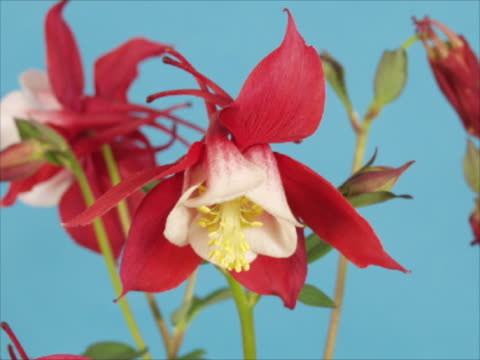 T/L CU Red and white columbine blooming