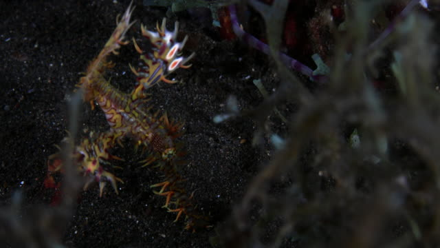 red and yellow colored ornate ghost pipefish feeding in the sand - ヨウジウオ科点の映像素材/bロール