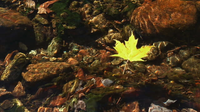 cu, ha, red and yellow maple leaves floating on clear stream, cape breton island, nova scotia, canada - floating on water stock videos & royalty-free footage
