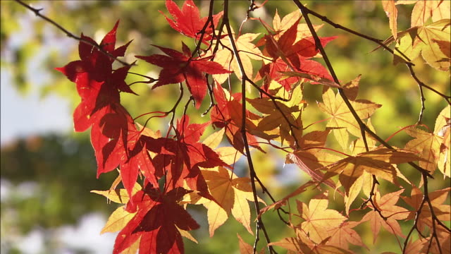 red and yellow maple leaves on branch, nikko, tochigi - branch stock videos & royalty-free footage