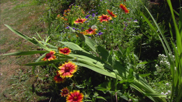 MS HA Red and yellow marigolds and bellflowers growing in garden / Portland, Oregon, USA