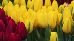 Red and yellow tulips close-up. Field of flowers in the Netherlands. Plant growing concept, flower business. Camera tracking.