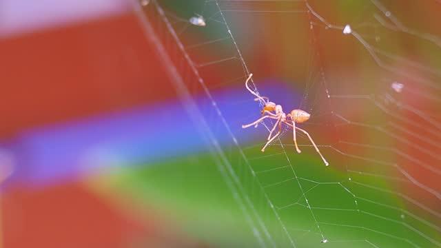 vidéos et rushes de fourmi rouge attrapée dans une toile d'araignée - toile d'araignée