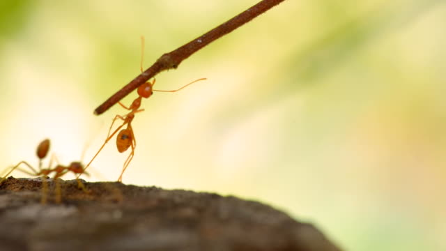 red ant cross - ant stock videos & royalty-free footage