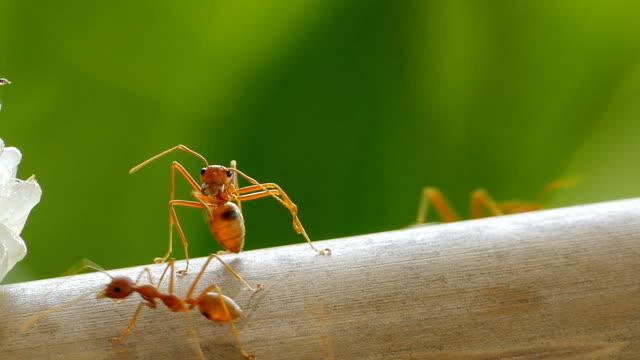 stockvideo's en b-roll-footage met rode mier op bamboe. - voelspriet