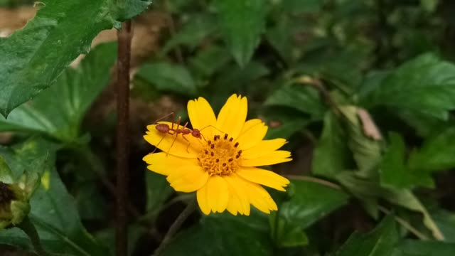 red ant on yellow flower - insect stock videos & royalty-free footage
