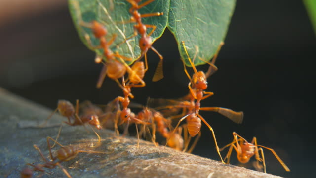 red ant - ant stock videos & royalty-free footage