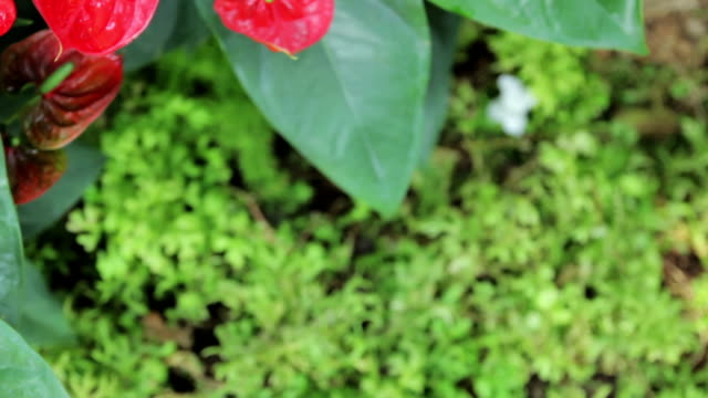 red anthurium blooming,high angle view dolly shot - anthurium stock videos & royalty-free footage