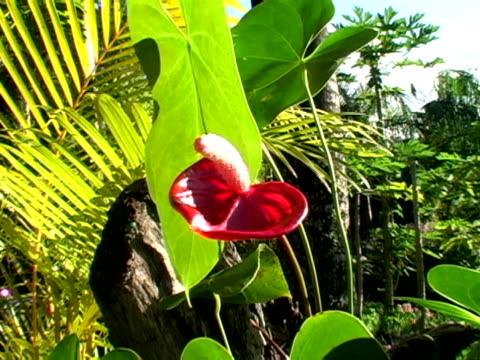 red anthurium - anthurium stock videos & royalty-free footage