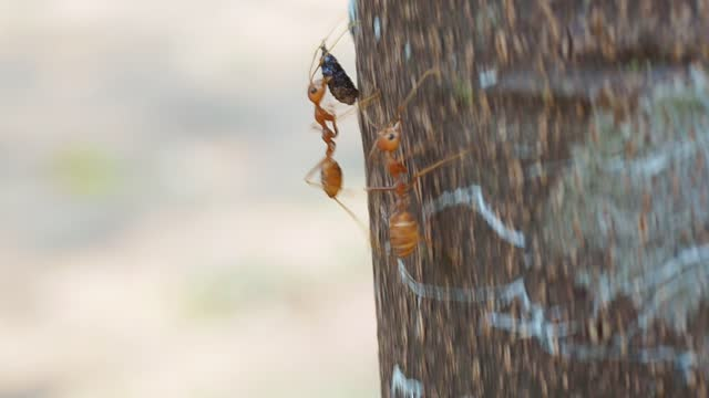 red ants are carrying food - ant stock videos & royalty-free footage