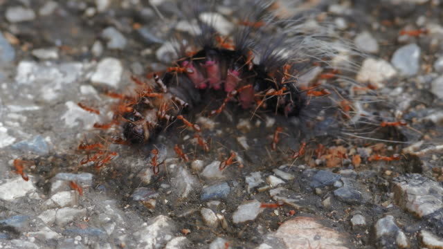 Red ants are fighting with worm and eating it