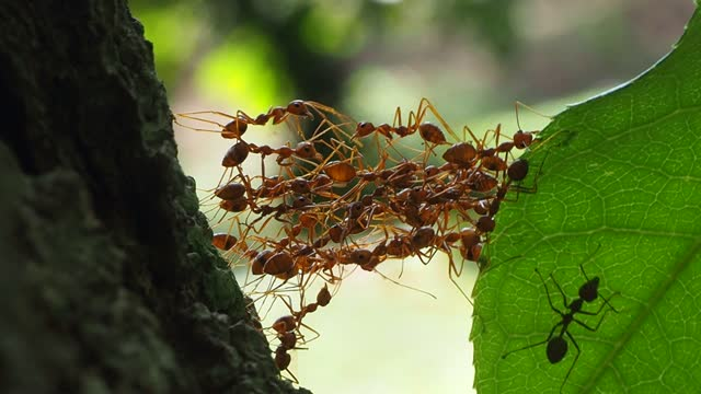 röda myror bygger hem i teamwork power koncept - insekt bildbanksvideor och videomaterial från bakom kulisserna
