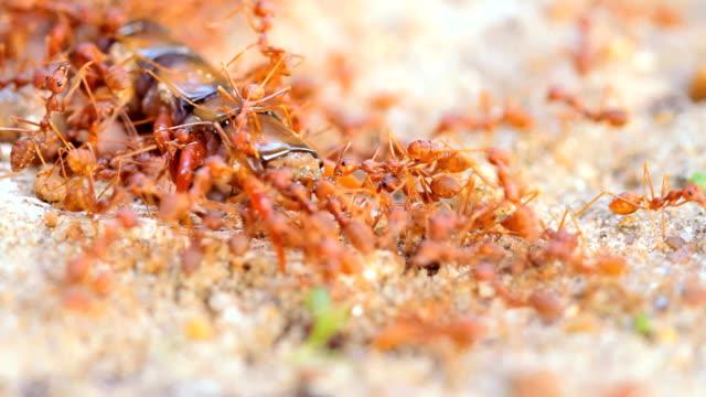 rote ameisen kolonie teamarbeit sind bewegen tausendfüßler für essen - hundertfüßer stock-videos und b-roll-filmmaterial