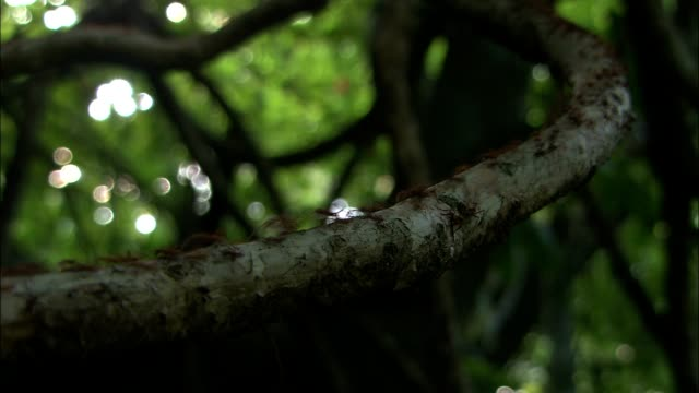 red ants crawl along a tree branch in a forest. - terreno video stock e b–roll