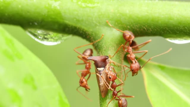 red ants walking on green leaves in nature. - animal antenna stock videos & royalty-free footage