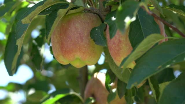 red apple on apple tree branch - apple tree stock videos & royalty-free footage