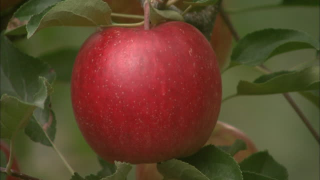 a red apple ripens on a tree. - ripe stock videos & royalty-free footage