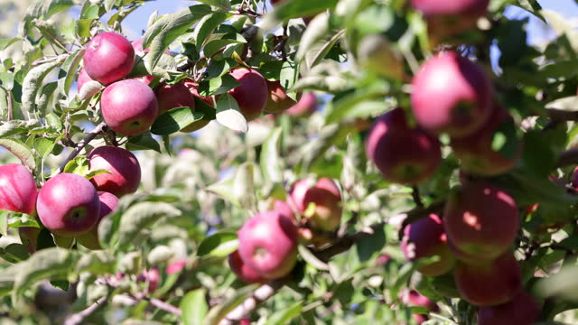 red apple tree and apple picking in orchard in autumn - orchard stock videos & royalty-free footage