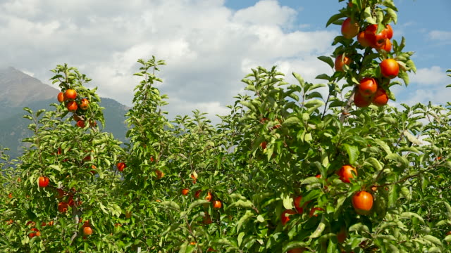 red apple trees with blue sky - apple tree stock videos & royalty-free footage