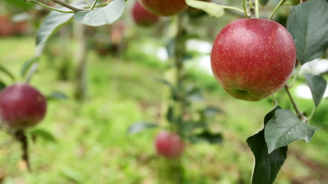 vídeos de stock e filmes b-roll de cu tu red apples are hanging on tree in apple orchard / andong, gyeongsangbuk do, south korea - pomar