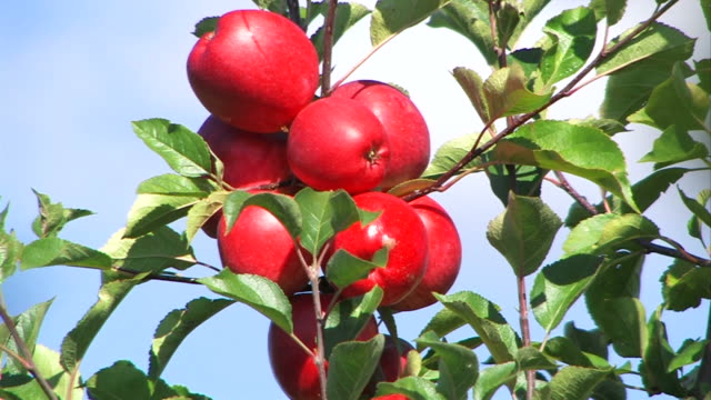 red apples - close up and zoom