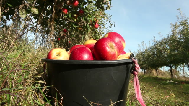 red apples in a bucket - frische stock videos & royalty-free footage