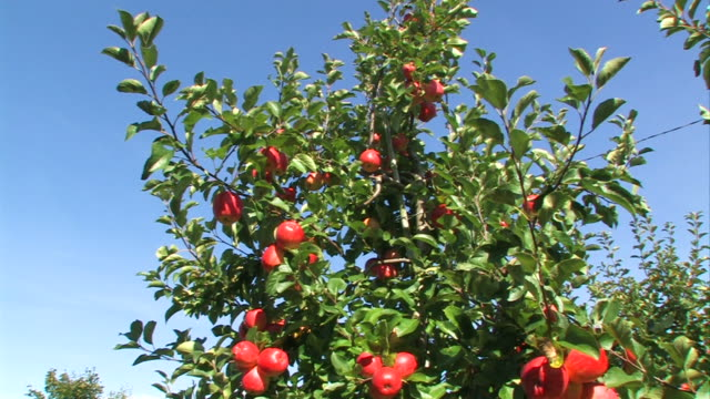red apples on a tree