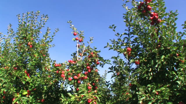 red apples on a tree - apple tree stock videos & royalty-free footage