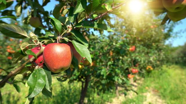red apples on orchard - fruit tree stock videos & royalty-free footage