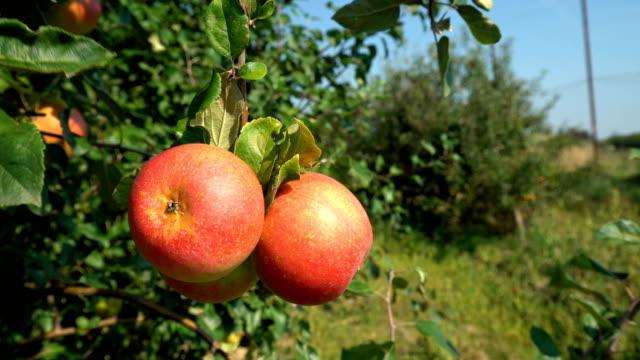 赤りんご園 - レッドデリシャス点の映像素材/bロール