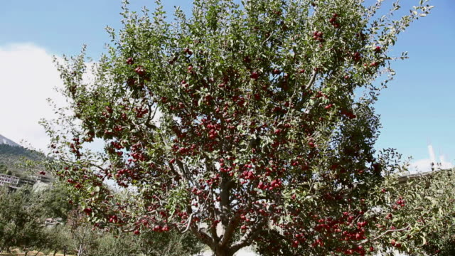 red apples on the tree  - orchard stock videos and b-roll footage