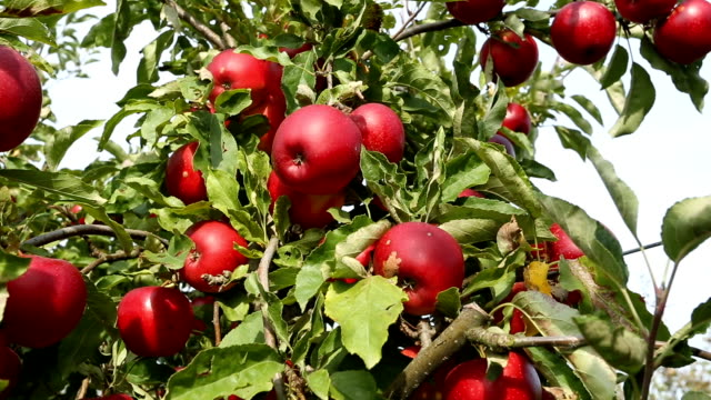 red apples, panning - orchard stock videos & royalty-free footage