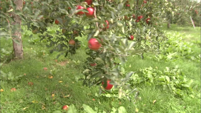Red apples ripen in an orchard.