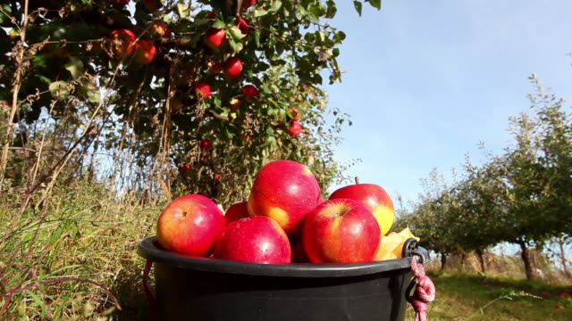 Red Apples with bin on Orchard