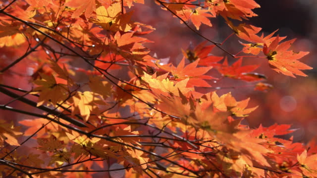 red autumn leaf lighted up by sunshine in obara, nagoya, japan. - maple tree stock videos and b-roll footage