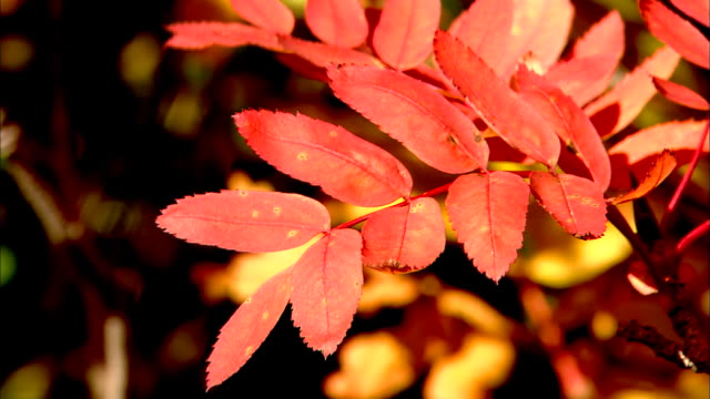 red autumn leaves of sorbus commixta (japanese rowan) swaying on branch, japan - branch stock videos & royalty-free footage