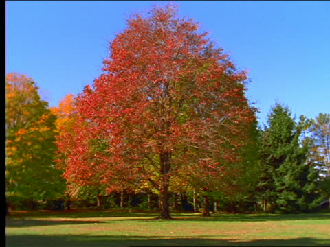 vídeos y material grabado en eventos de stock de red autumn maple tree in clearing - arce