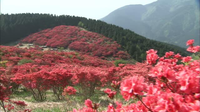 red azaleas grow on mount katsuragi. - heidekraut stock-videos und b-roll-filmmaterial