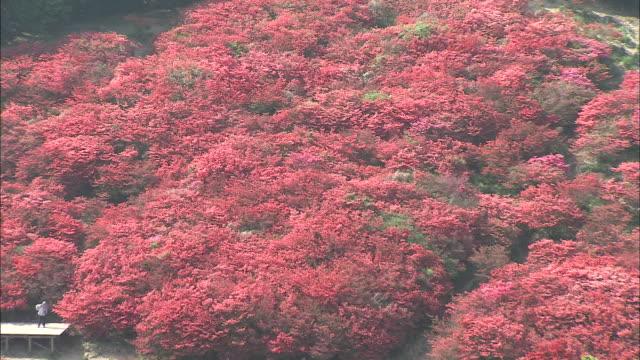 red azaleas grow on the mount katsuragi hillside. - heidekraut stock-videos und b-roll-filmmaterial